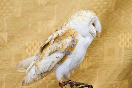 Owl portrait, white bird photo