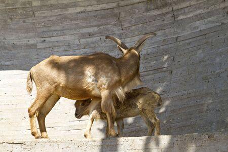 ibex ram: Spanish ibex