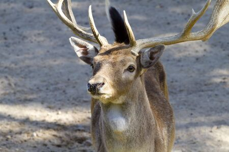 Deer with horns photo
