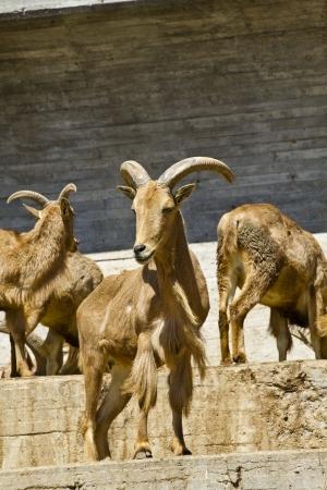 Spanish ibex photo