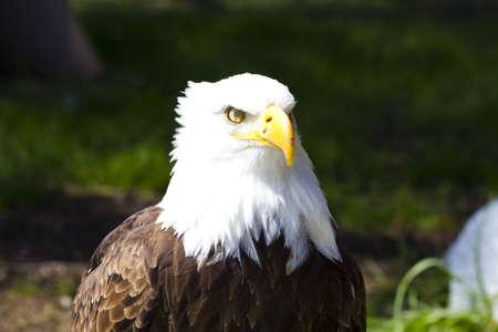 haliaeetus: American Bald Eagle (Haliaeetus leucocephalus)