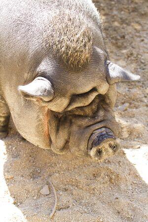 potbelly: Vietnamese Potbelly Pig on a farm Stock Photo