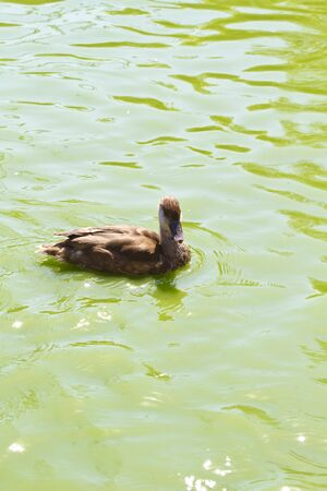 Family of ducks happily swimming in a river of green water photo