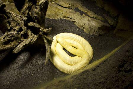egyptian cobra: Albino Monocle Cobra
