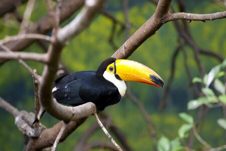 Beautiful tucan sitting on a branch photo