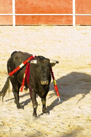 bloodsport: Spanish bull. Bullfight. Animal of great strength and nobility
