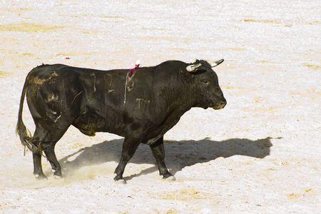 Spanish bull. Bullfight. Animal of great strength and nobility Stock Photo - 7815390