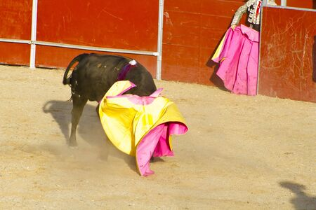 bloodsport: Fighting bull picture from Spain. Black bull