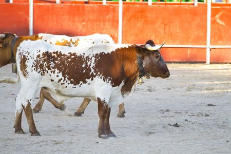 Fighting bull picture from Spain. Brown bull Stock Photo - 7816541