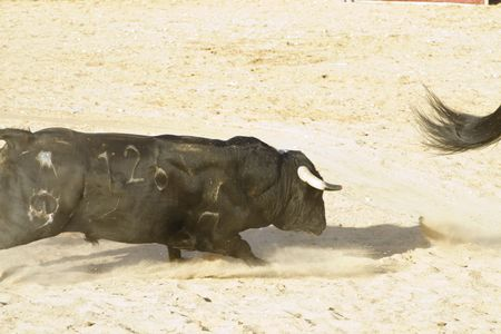Fighting bull picture from Spain. Black bull Stock Photo - 7816525