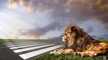 leo: Powerful Lion resting at sunset. The power of nature.