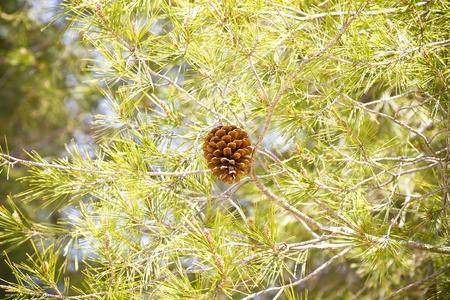 Golden fir apple on green forest background