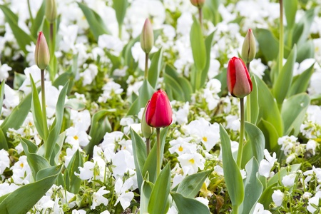 colorful tulips Stock Photo - 13131114
