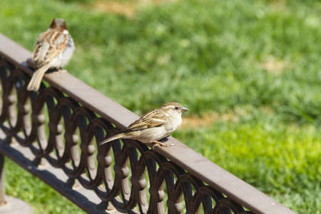 Urban sparrow on bronze fence photo