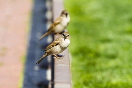 Sparrow (Passer domesticus) in a fence during a sunny summer day Stock Photo - 13130721