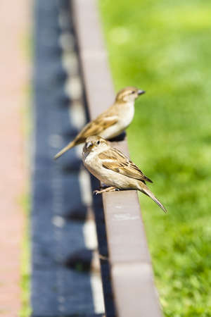 Young curious sparrows photo