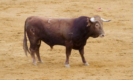 bullfights: Spanish bulls (toros bravos) in Madrid. Famous from the traditional Spanish bullfights.