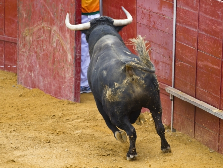 Powerful bull hitting the bullring barrier photo