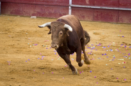 Brown bull attacking Spanish bullfighter photo