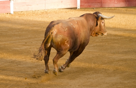 Spanish brown bull in the bullring with sand photo