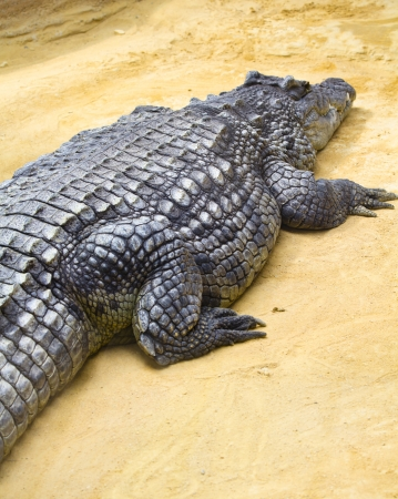 vivarium: Big crocodile in vivarium