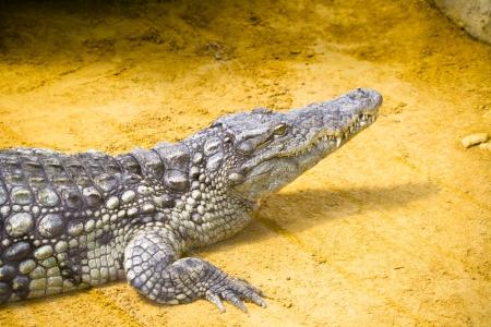 vivarium: Little crocodile in vivarium Stock Photo
