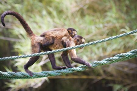 monkey with her ​​young hanging from a rope photo