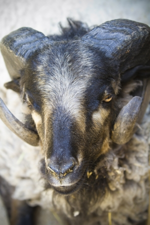 black goat with big horns photo