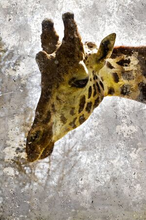 Artistic portrait with textured background, giraffe head Stock Photo - 16959300