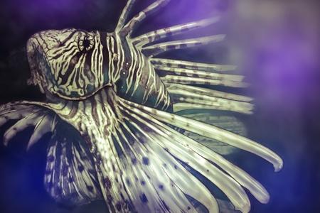 turkeyfish: Illustration made with a digital tablet scorpion fish dangerous, purple sea background