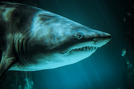Great Shark Underwater Photo  in the deep blue water. photo