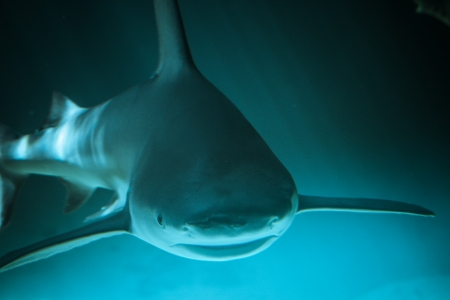 guadalupe island: Great Shark Underwater Photo  in the deep blue water.