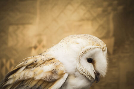 Owl portrait, golden owl, wildlife concept photo