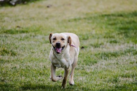 running.yellow labrador in the park in a grass field, autumn photo