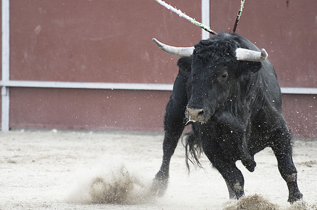 Bullfight. Fighting bull picture from Spain. Black bull