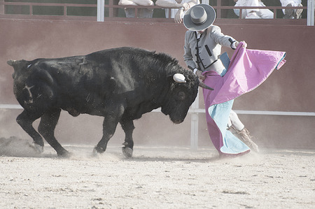Bullfight. Fighting bull picture from Spain. Black bull photo