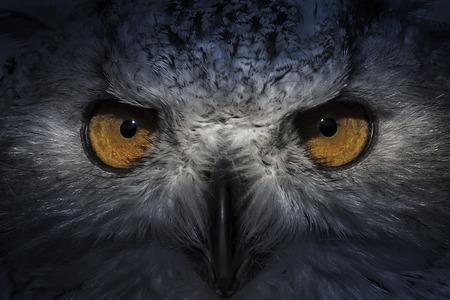 eagle owl Standard-Bild