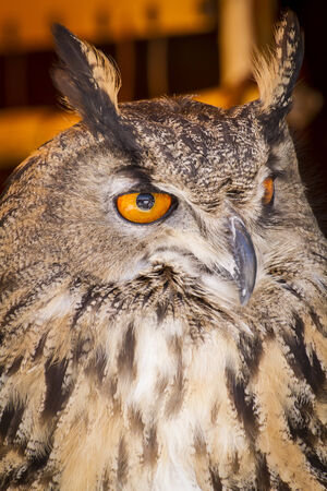 Looking eagle owl in a sample of birds of prey, medieval fair photo