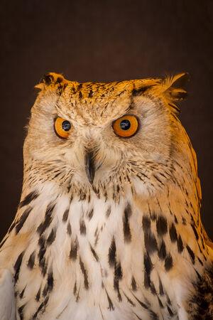 Carnivore eagle owl in a sample of birds of prey, medieval fair