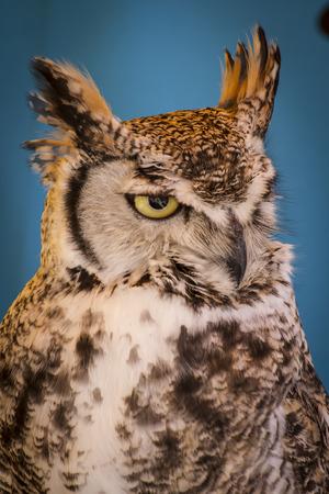 avian: Avian, eagle owl in a sample of birds of prey, medieval fair