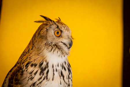 Watching eagle owl in a sample of birds of prey, medieval fair photo