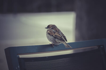 sparrow detail leaning on a chair at a terrace photo