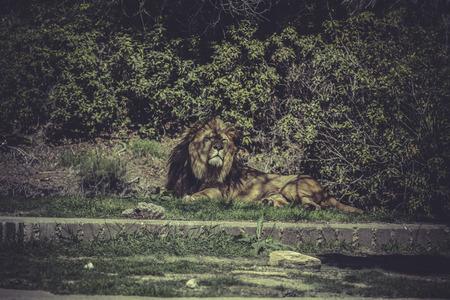 zoogdier: Leeuw, Panthera leo, majestueuze zoogdier, het wild scène Stockfoto