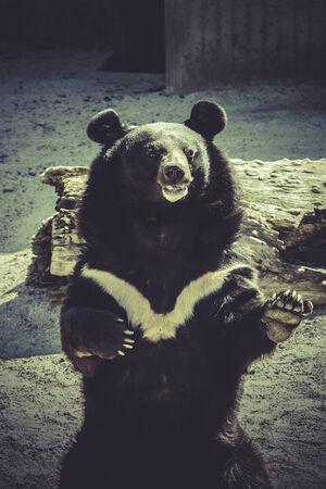 salutes: Black bear, salutes, zoo scene