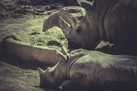 herbivore: herbivore, White rhino (Ceratotherium simum)