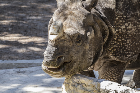 pachyderm: pachyderm, danger, Indian rhino with huge horn and armor skin Stock Photo