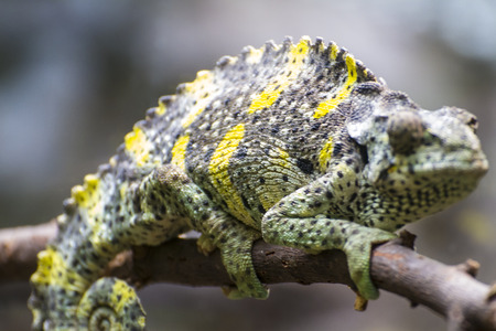reptile, chameleon uploaded to a branch with beautiful green colors photo