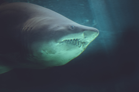 guadalupe island: dangerous and powerful shark swimming under water
