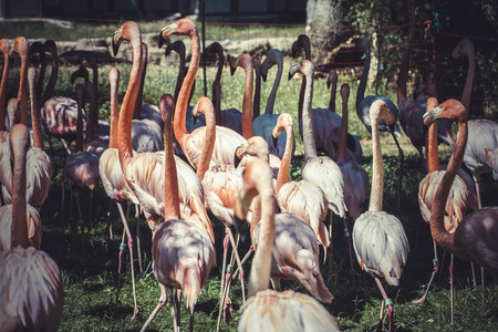 group of flamingoes with long necks and beautiful plumage photo