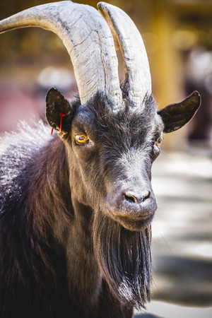 pastoral: pastoral, goat with horns and thick fur Stock Photo